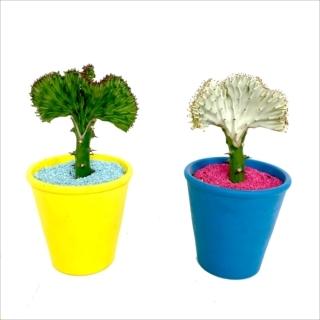 珍しい観葉植物 マハラジャ|商品画像